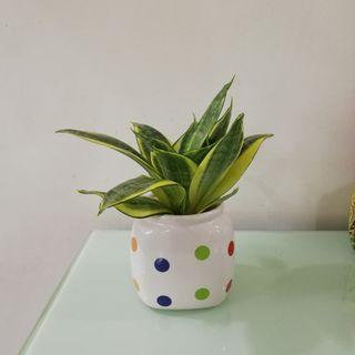 Air Purifying plant - Dwarf Sansevieria / Snake plant (Night produce oxygen) (Suitable for office, house, indoor, as a gift)
