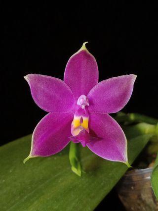 Phalaenopsis violacea red