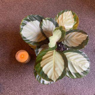 Stunning indoor plant calathea