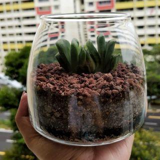 Haworthia Truncata Terrarium