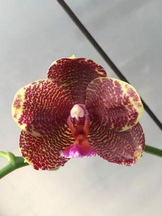 🚚 (flowering) Phalaenopsis Mituo Sun X Yaphon Sir