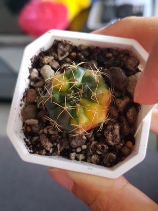 🚚 Gymnocalycium denudatum variegated