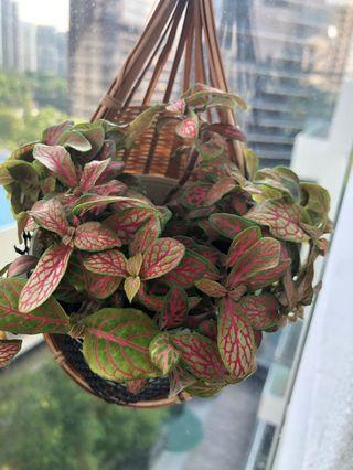 Fitonia plant cute in white pot