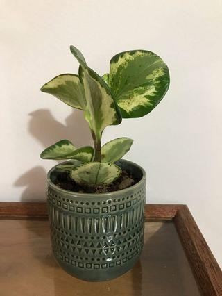 Variegated Peperomia Potted