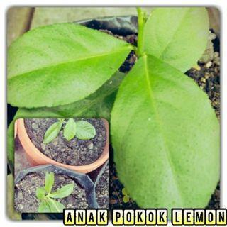 Anak Pokok Lemon