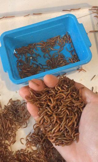 Organic Mealworms