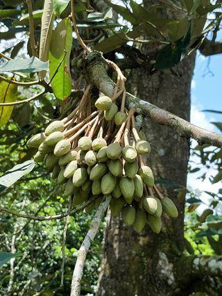One day Johore & Tangkak durian 29/6,30/6,6/7