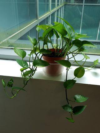 🚚 Money plant