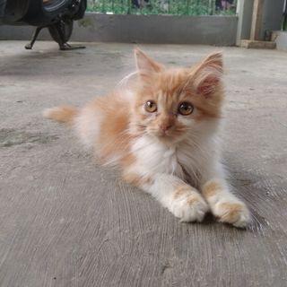 Kitten Persia Medium