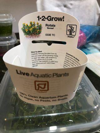 Rotala Bonsai Aquatic Plant