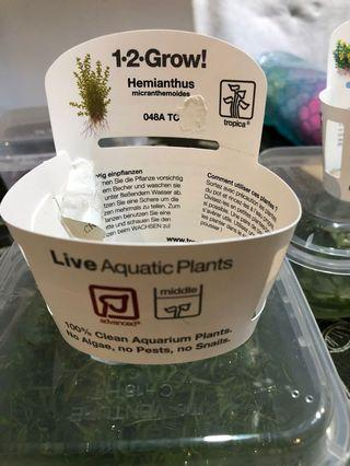 Pearl Grass / weed aquatic plant