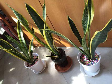 Snake plant/ sansevieria