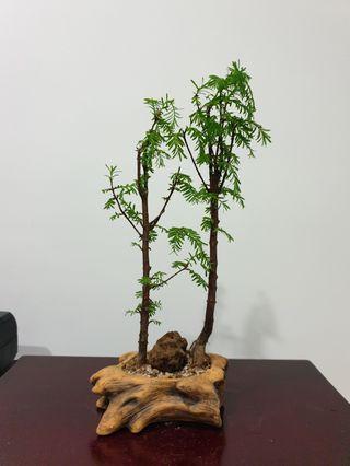 Dawn Redwood Bonsai Species Plant (R4) #EndgameYourExcess