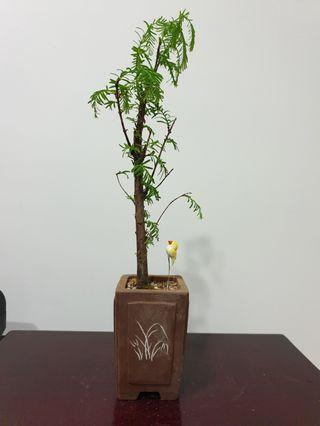 Dawn Redwood Bonsai Species Plant (R6) #EndgameYourExcess
