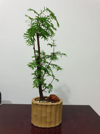 Dawn Redwood Bonsai Species Plant (R8) #EndgameYourExcess