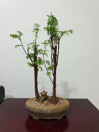 Dawn Redwood Bonsai Species Plant (R9) #EndgameYourExcess