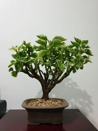 Reserved: Spanish Thyme Bonsai Plant (K4) #EndgameYourExcess