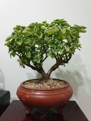 Mexican Mint Bonsai Plant (K5) #EndgameYourExcess