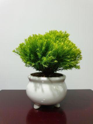 Lemon Cypress Plant (AN1) #EndgameYourExcess