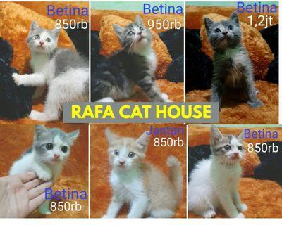 Persia kitten 2 bulan