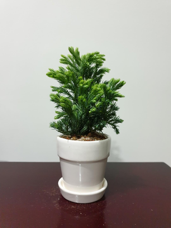 Mini German Pine Plant Gs3 Endgameyourexcess Gardening Plants