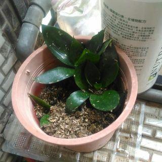 5月破盤買1送1)短葉虎尾蘭~多肉植物