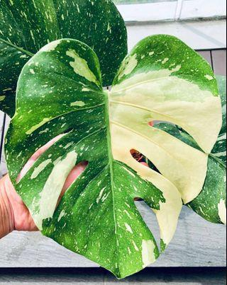 Variegated Monstera very beautiful plant {one only}