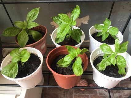 Organic basil small plant