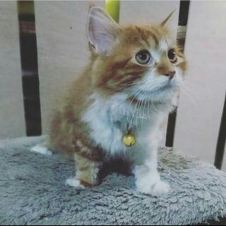 Kucing Persia Betina Kuning Tabby