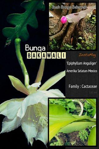 Pokok Bunga Bakawali [Epiphyllum Anguliger]