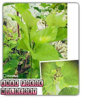 Pokok Mulbery (Morus / Kertau)