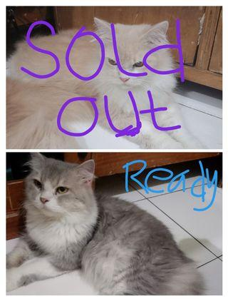 Kucing persia medium longhair