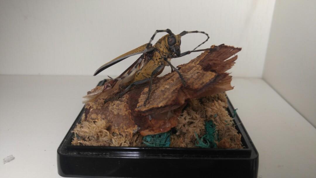 展翅昆蟲標本