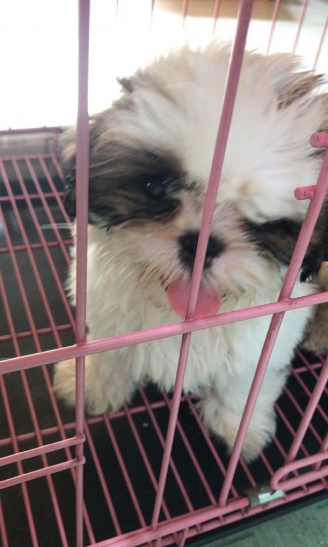 Puppy Shih Tzu Axel