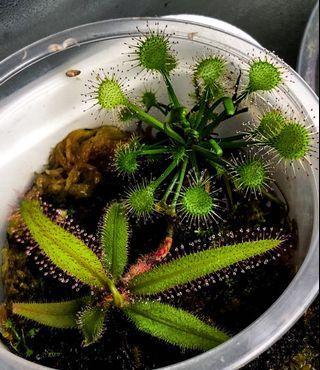 Drosera x eloisiana and drosera adelae