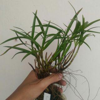 Eria Sp Orchid of Papua 02