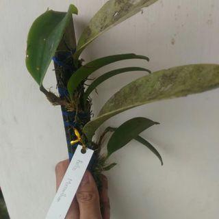 Bulbophyllum Macranthum Orchid