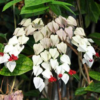 🚚 White Bleeding Heart Vine ( Clerodendrum thomsoniae ) MLG
