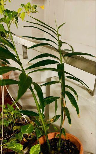 Ginger plant (Herbal)