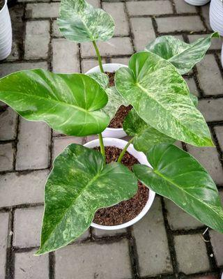 Philodendron marble