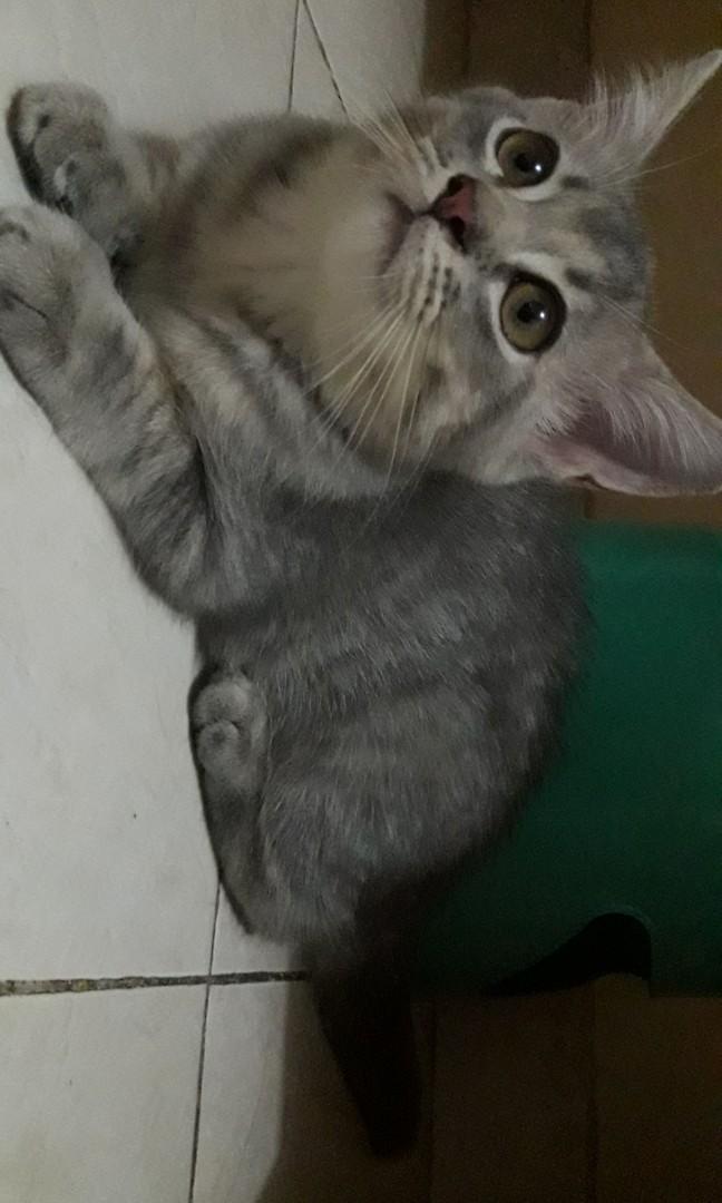 Kucing Persia himalaya Baby usia 2 bulan Lakian