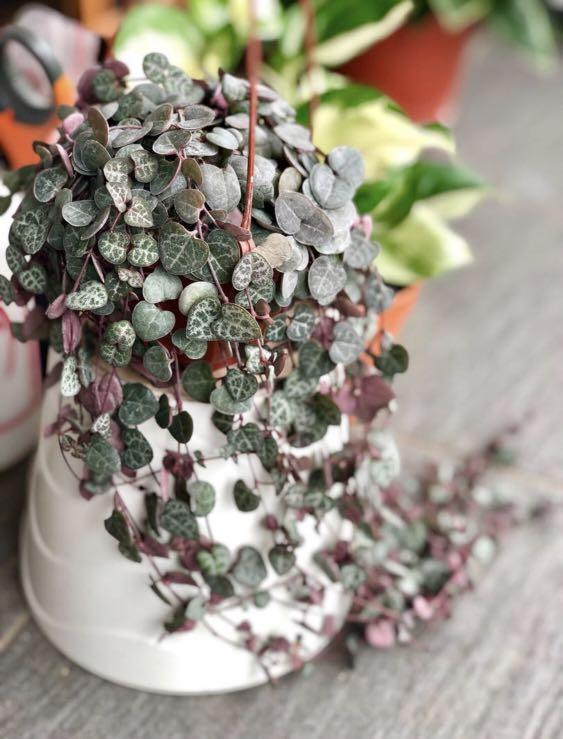 String of hearts / Ceropegia Woodii hanging plant