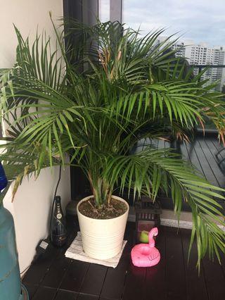 🚚 Medium/ Large plant in white ceramic pot