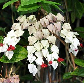 White Bleeding Heart Vine ( Clerodendrum thomsoniae MLG