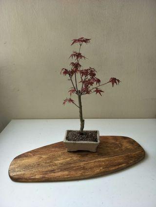 Bonsai Maple Leaf, 8 Left, 1 Sold already, .