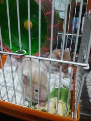 Jual BU Sepasang Hamster lucu FREE kandang hamster