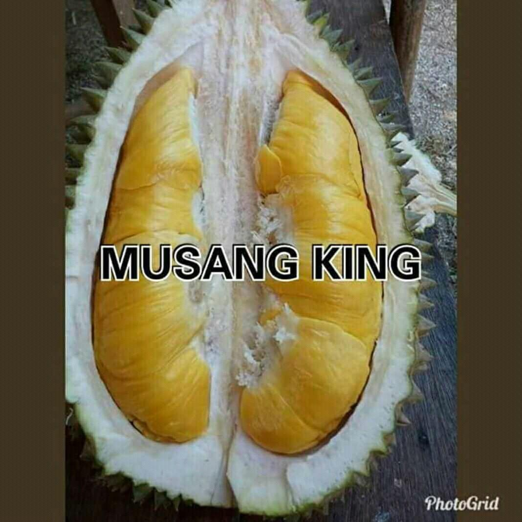 Bibit durian musang king kaki tunggal