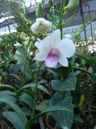 Dendrobium charming white