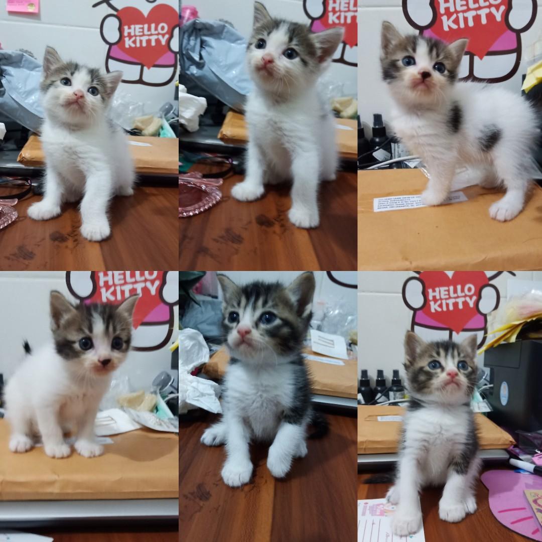 Kitten anak kucing anakan kucing Betina Persia Medium Lucu Lincah