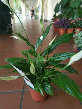 Holland peace lily